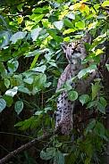 Lynx in tree