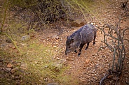 Javelina Walking in Sonoran Desert