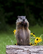 Woodchuck (Young)