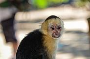 Capuchin Monkey 4