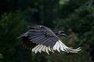 Flying Abyssinian ground hornbill