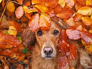 Golden Retriever Autumn