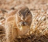 Ground Squirrel feeding