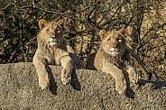 African Lion Cubs
