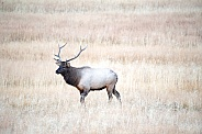 Wild bull elk during rut