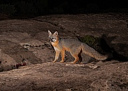 Urocyon cinereoargenteus, grey fox
