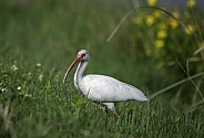 White Ibis looking for food in the grass