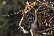 Sumatran Tiger Side Profile Behind Twigs