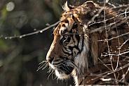 Sumatran Tiger Side Profile Behind Twigs