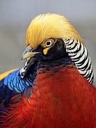 Golden Pheasant (Phasianus colchicus)