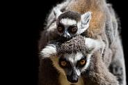 Mum and Baby ring tailed lemur's