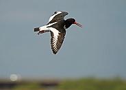 Eurasian Oystercatcher in Flight