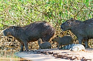 Capybara Family (wild, South America)