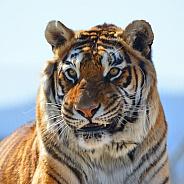 Tiger Elvis