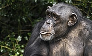 Chimpanzee Close Up Side Profile