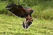 Harris's Hawk - Ecuador