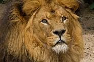 Lion Ceasar
