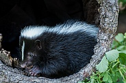 Striped Skunk Kit inside Hollow Log