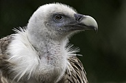 Griffon Vulture Close Up