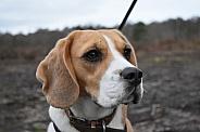 Close up Beagle