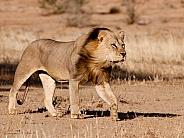 Lion Male (Wild)