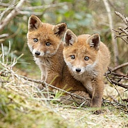 Two curious red fox cubs