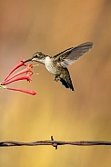 Hummingbird Feeding & Barb Wire