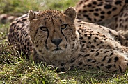 Cheetah Lying Down Looking At Camera