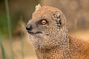 Yellow Mongoose Close Up Face Shot