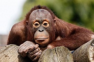 Young Bornean Orangutan - close up