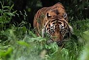 stalking Sumatran Tiger