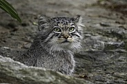 Manul/Pallas Cat In Rocks