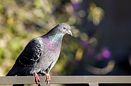 Domestic pigeon (Columba livia domestica)