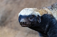 African Honey Badger