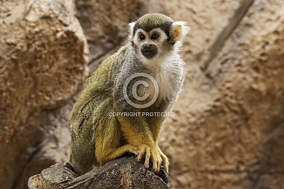 Squirrel Monkey Full Body Shot