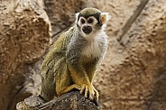 Squirrel Monkey Full Body Shot