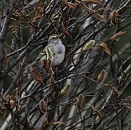 American Tree Sparrow in Alaska
