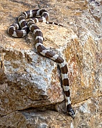 Eastern Kingsnake or Common Kingsnake