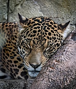 Panamanian Jaguar