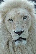 White South African Lion