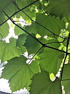 Ornamental Grape Leaves