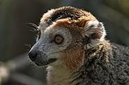 Crowned Lemur Close Up Face Shot