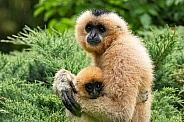 Golden Cheeked Gibbon Mum and Baby