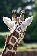 Back of Giraffe's head