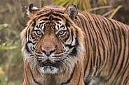 Sumatran Tiger Close Up Looking Forward