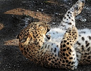 North Chinese Leopard