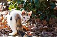 Calico Domestic Shorthair