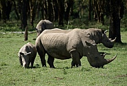 White Rhino and Calf