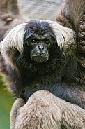 Black and White Gibbon