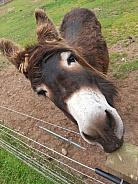 Brown Donkey